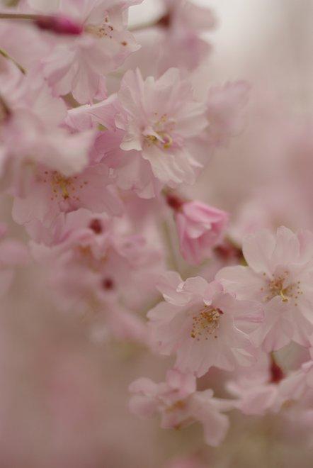 桜色に包まれて_e0171336_17181417.jpg