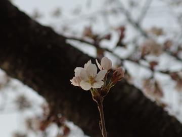 桜が咲きはじめました_a0014840_225258100.jpg