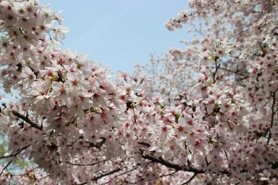 花だより 桜 桜 桜_a0279848_16283695.jpg