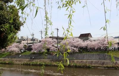 花だより 桜 桜 桜_a0279848_16284421.jpg