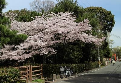 花だより 桜 桜 桜_a0279848_16284992.jpg