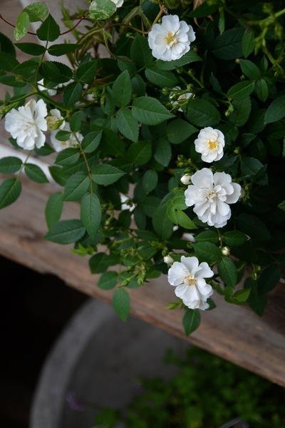 初夏のお庭の準備、少しずつ。。。_a0229658_1844289.jpg