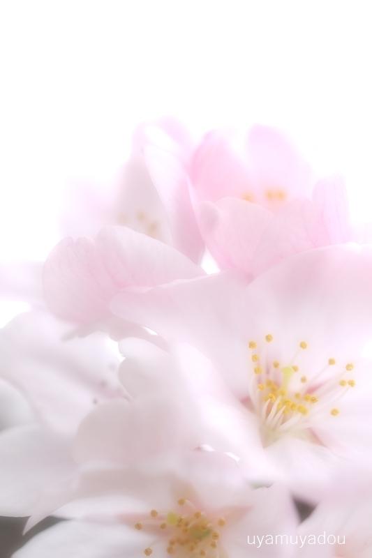 桜 昨日・今日・明日_a0157263_22375769.jpg