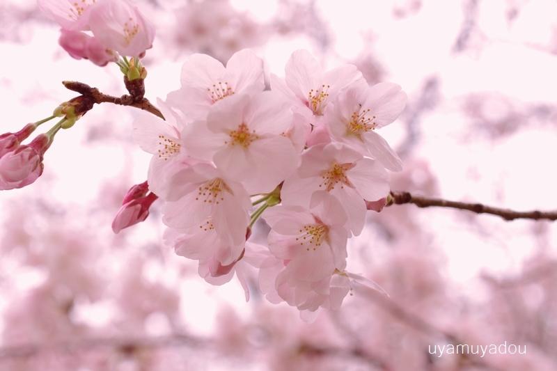 桜 昨日・今日・明日_a0157263_22381232.jpg