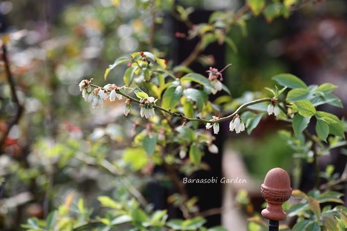 ブルーベリーの花_a0135366_0491244.jpg