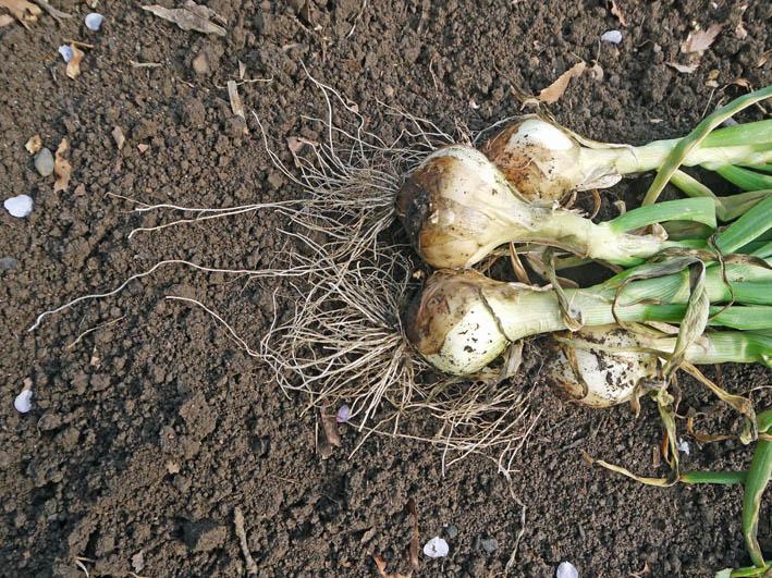 根っ子の長い早世タマネギ初収穫とオクラの種蒔き4・6_c0014967_18434339.jpg