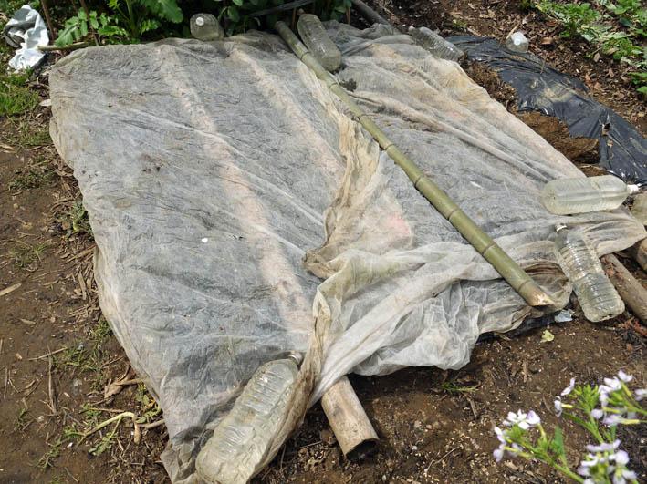 根っ子の長い早世タマネギ初収穫とオクラの種蒔き4・6_c0014967_18455860.jpg