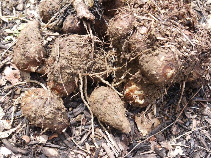 根っ子の長い早世タマネギ初収穫とオクラの種蒔き4・6_c0014967_18493850.jpg