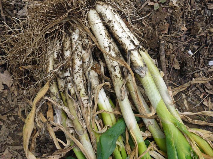 根っ子の長い早世タマネギ初収穫とオクラの種蒔き4・6_c0014967_18495762.jpg