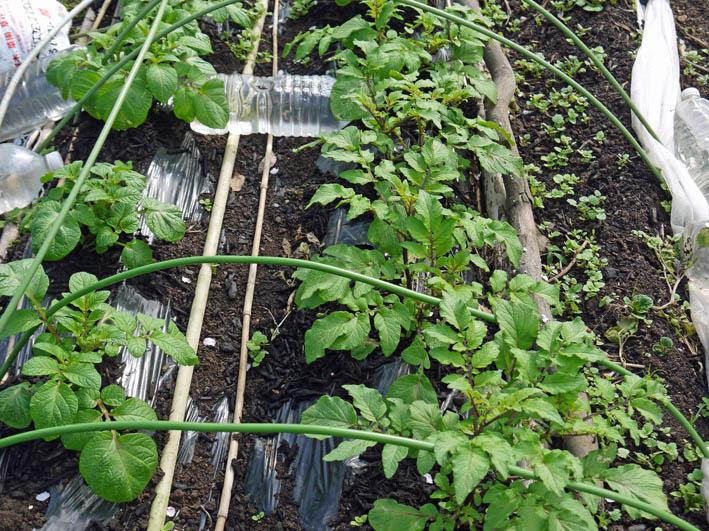 根っ子の長い早世タマネギ初収穫とオクラの種蒔き4・6_c0014967_18513975.jpg