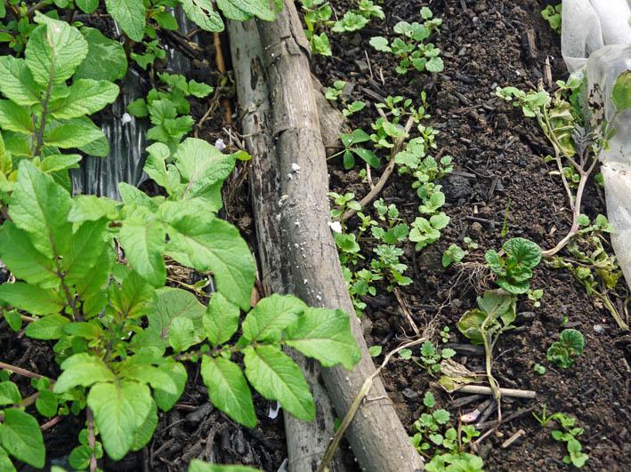根っ子の長い早世タマネギ初収穫とオクラの種蒔き4・6_c0014967_18515566.jpg