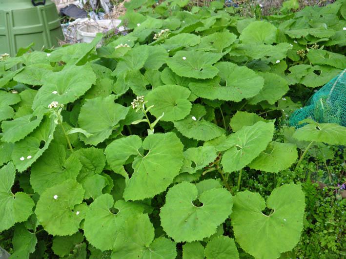 根っ子の長い早世タマネギ初収穫とオクラの種蒔き4・6_c0014967_1852518.jpg