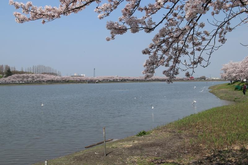 桜_c0122967_16421165.jpg