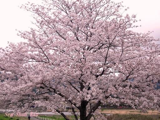 今、京都は桜が満開 2016年4月6日_a0164068_20424815.jpg