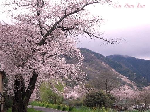 今、京都は桜が満開 2016年4月6日_a0164068_20431482.jpg
