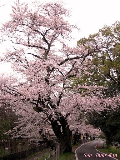 今、京都は桜が満開 2016年4月6日_a0164068_20433552.jpg