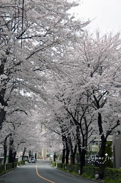 桜コレクション_a0192475_9154690.jpg
