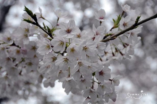 桜コレクション_a0192475_994594.jpg