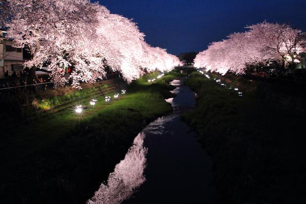 野川 一夜限りの桜ライトアップ_f0347877_2201799.jpg