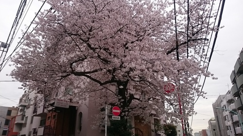 「桜苑マンションのさくら」_a0075684_0563138.jpg