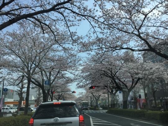 日立市平和通りの桜🌸が綺麗です♪_e0251887_17300746.jpeg