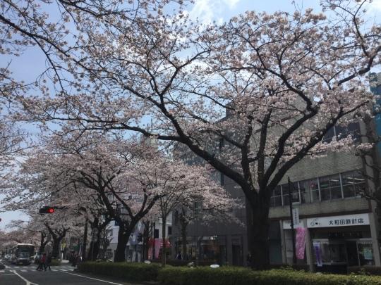 日立市平和通りの桜🌸が綺麗です♪_e0251887_17302846.jpeg