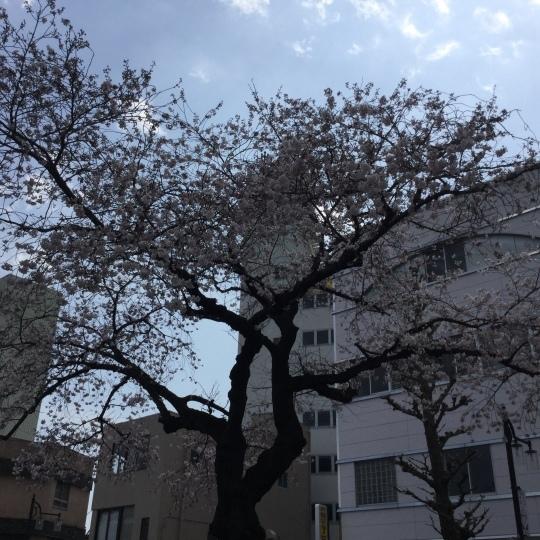 日立市平和通りの桜🌸が綺麗です♪_e0251887_17305484.jpeg