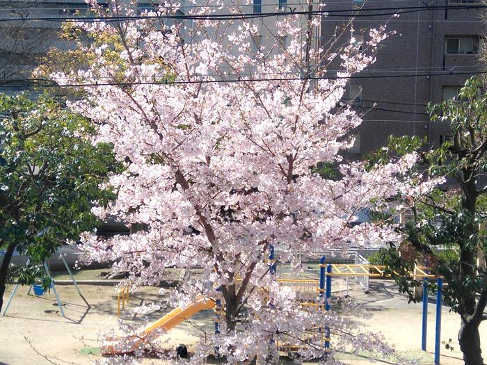 公園の桜_e0069308_12274227.jpg