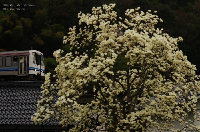モクレンの花開く_d0309612_0193876.jpg