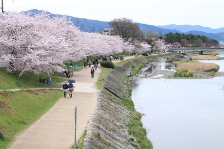 16桜だより39 鴨川満開_e0048413_15364979.jpg