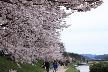 16桜だより39 鴨川満開_e0048413_15371461.jpg
