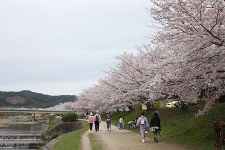 16桜だより39 鴨川満開_e0048413_15372926.jpg