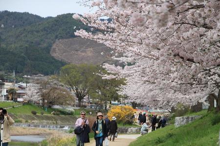 16桜だより39 鴨川満開_e0048413_15374573.jpg