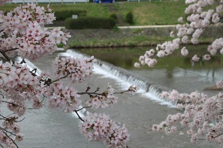 16桜だより39 鴨川満開_e0048413_1538050.jpg