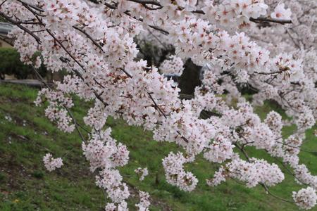 16桜だより39 鴨川満開_e0048413_15381775.jpg