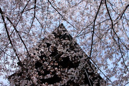 16桜だより40 東寺五重塔と桜_e0048413_16225281.jpg