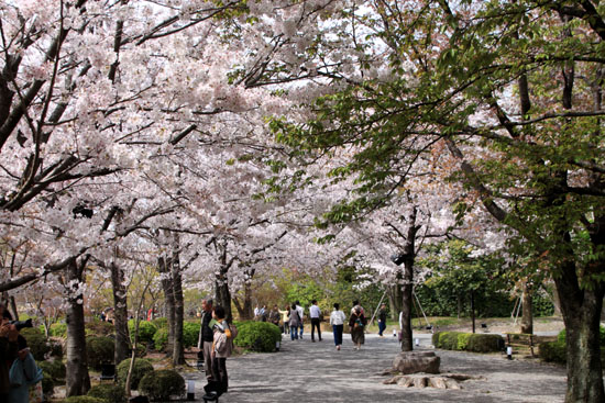 16桜だより40 東寺五重塔と桜_e0048413_16231359.jpg