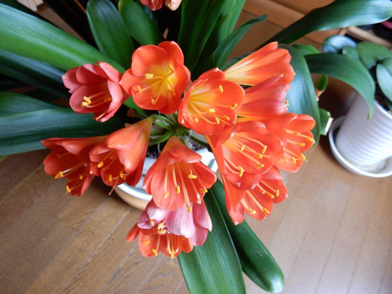 クンシランの春_c0025115_21045279.jpg