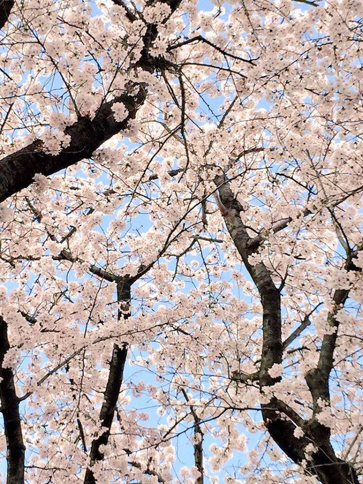 """盗撮?!【春の求愛活動】この鳥は何ですか? 家の横の桜を""""今年は今日が最後かなぁ""""と見上げてたら_b0032617_174012100.jpg"""