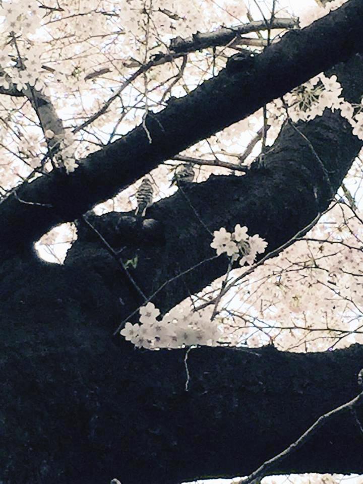 """盗撮?!【春の求愛活動】この鳥は何ですか? 家の横の桜を""""今年は今日が最後かなぁ""""と見上げてたら_b0032617_17403795.jpg"""