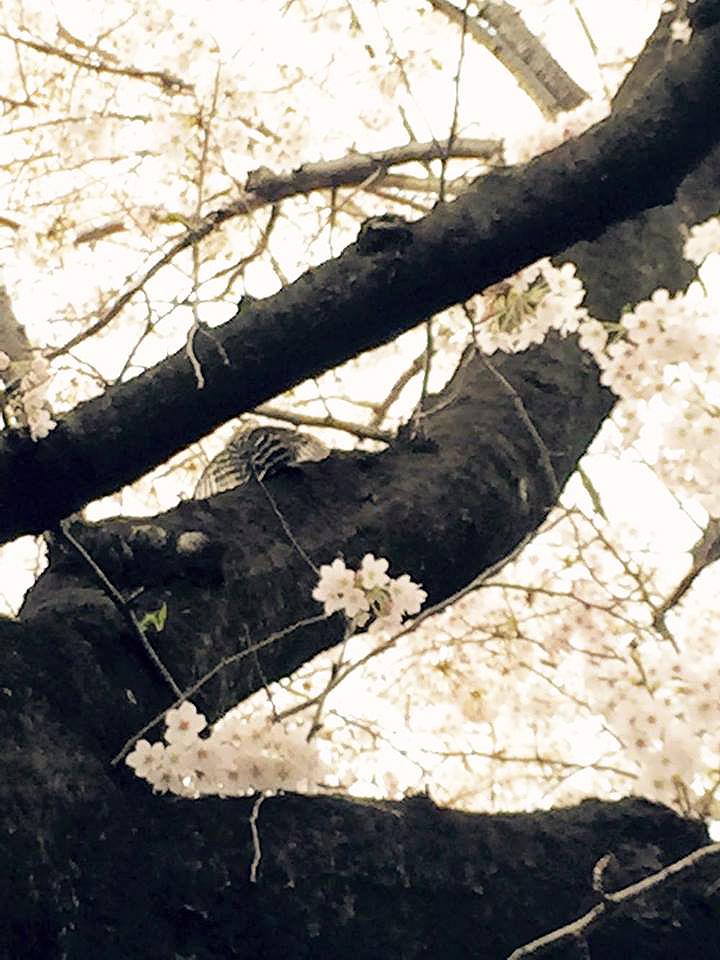 """盗撮?!【春の求愛活動】この鳥は何ですか? 家の横の桜を""""今年は今日が最後かなぁ""""と見上げてたら_b0032617_17404825.jpg"""