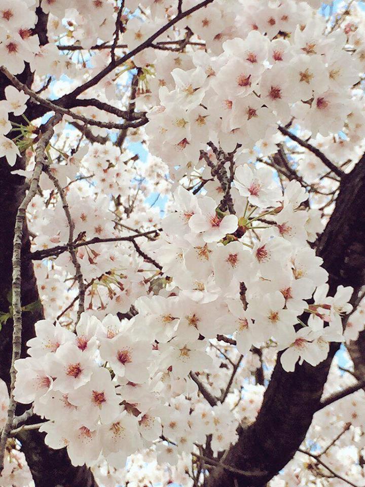 """盗撮?!【春の求愛活動】この鳥は何ですか? 家の横の桜を""""今年は今日が最後かなぁ""""と見上げてたら_b0032617_174053.jpg"""