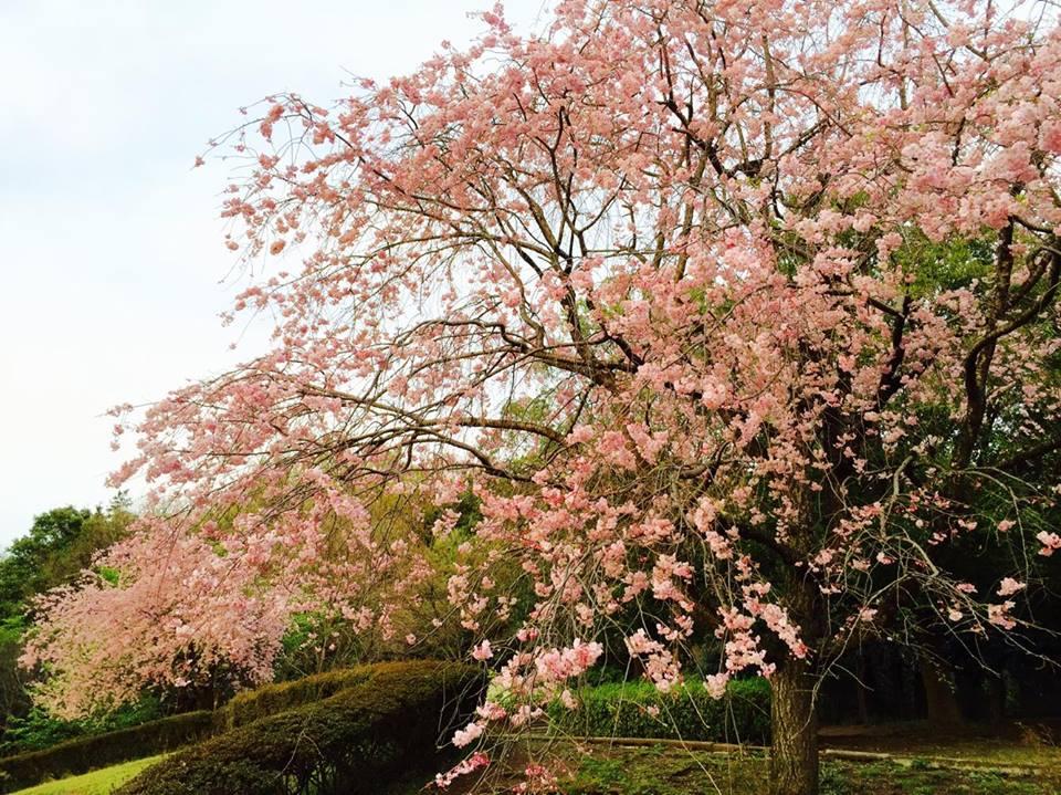 """盗撮?!【春の求愛活動】この鳥は何ですか? 家の横の桜を""""今年は今日が最後かなぁ""""と見上げてたら_b0032617_17411043.jpg"""