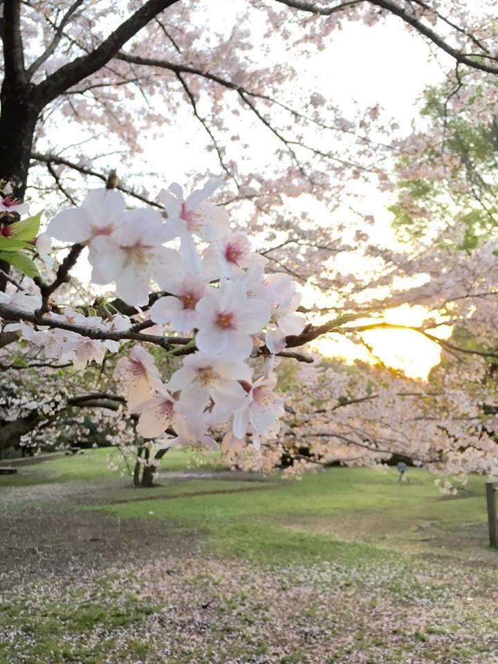 """盗撮?!【春の求愛活動】この鳥は何ですか? 家の横の桜を""""今年は今日が最後かなぁ""""と見上げてたら_b0032617_1741171.jpg"""