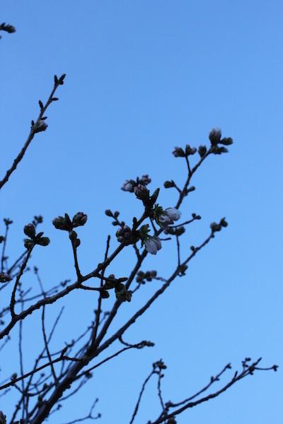 ヨシノのいない春。_e0023517_9245339.jpg