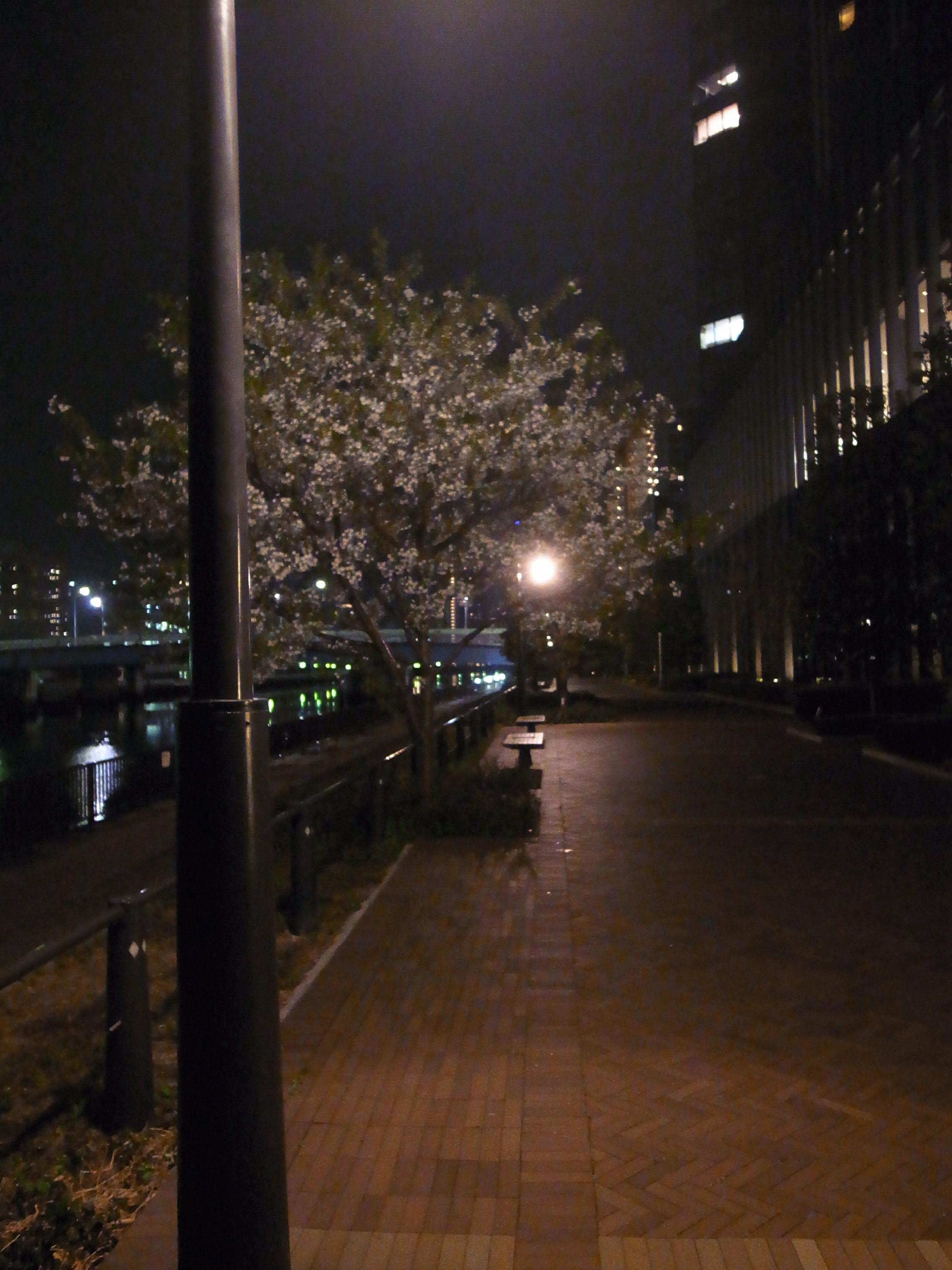 桜満開_b0310424_21001343.jpg