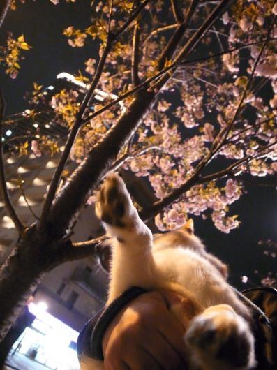 桜満開_b0310424_21002724.jpg