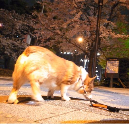 桜満開_b0310424_21002859.jpg