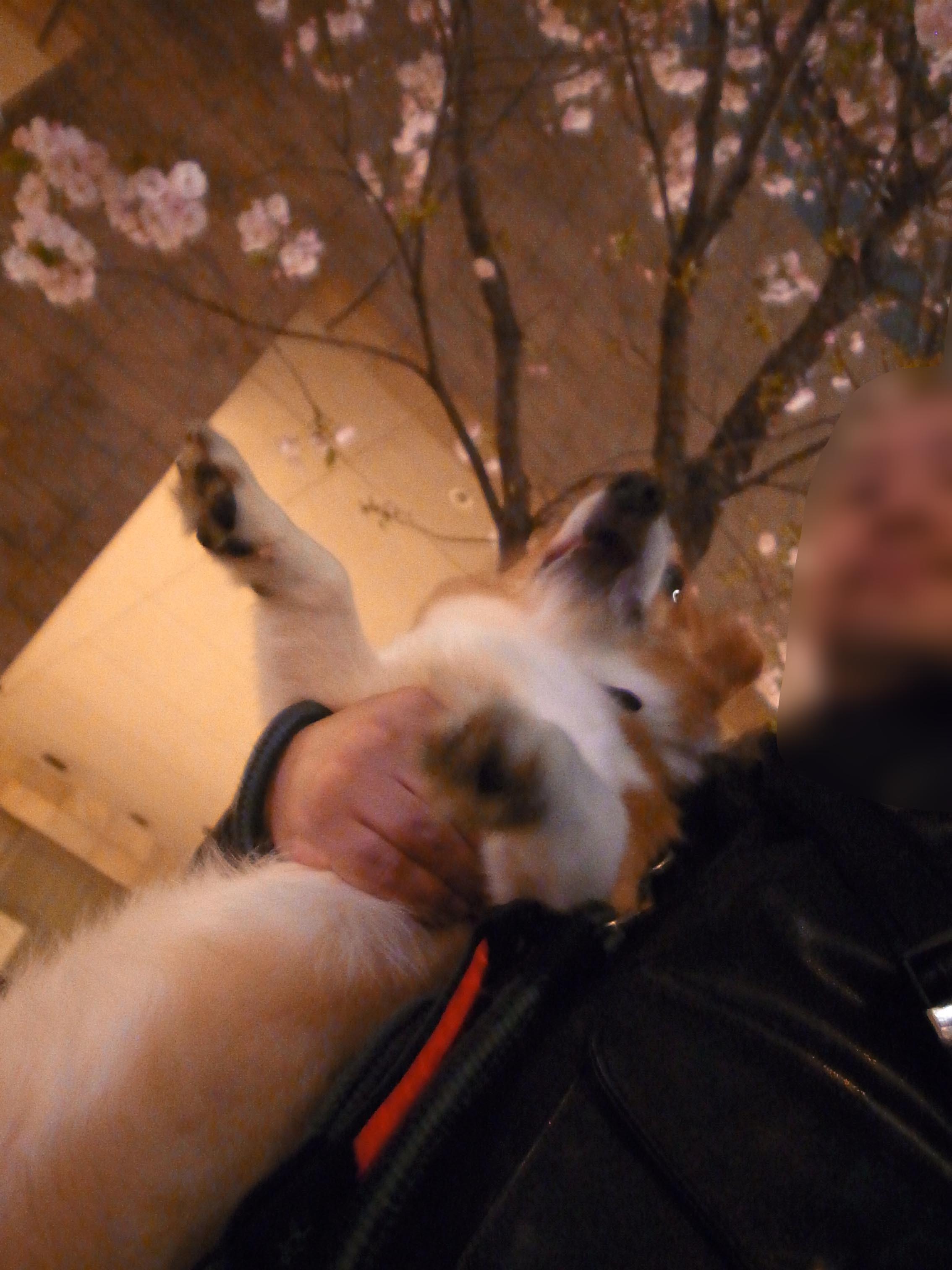 桜満開_b0310424_21003481.jpg