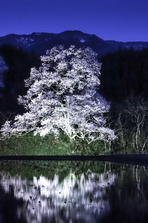 江戸彼岸桜_c0220824_10054341.jpg